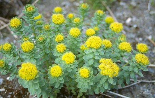 Rhodiola – The Betterment Herb